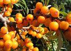 Rokitnik, rosyjski ananas. Wartości odżywcze i właściwości zdrowotne rokitnika zwyczajnego