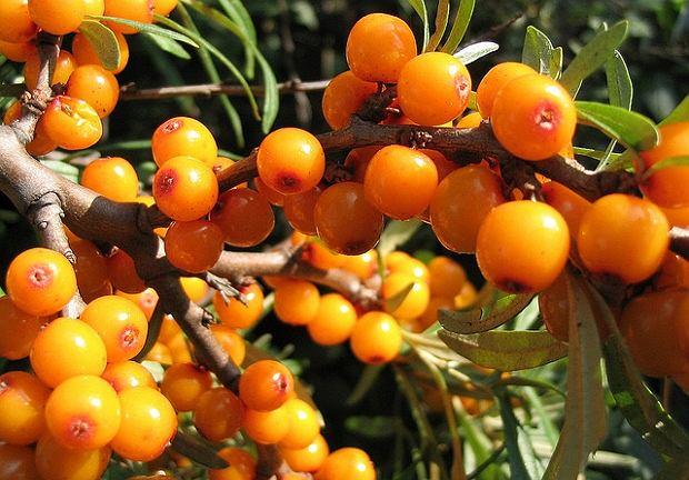 Rokitnik zwyczajny w swej pomarańczowej okazałości