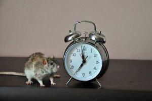 Naukowcy zresetowali u myszy zegar biologiczny, który steruje ich rytmem snu i czuwania