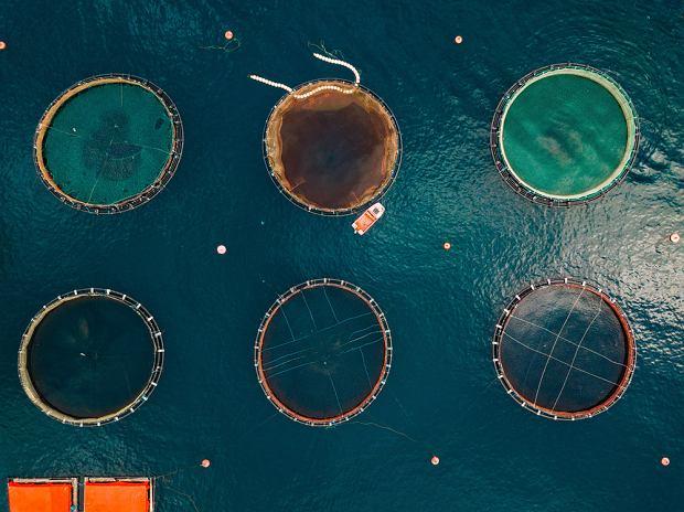 Większość akwakultur łososia to olbrzymie klatki morskie - w każdej może się mieścić nawet 50 tysięcy ryb