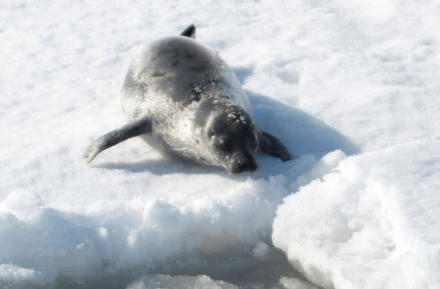 Rz�d Kanady chce zabi� blisko p� miliona fok. Internauci z ca�ego �wiata zapowiadaj� protest