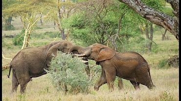 Tanzania, safari