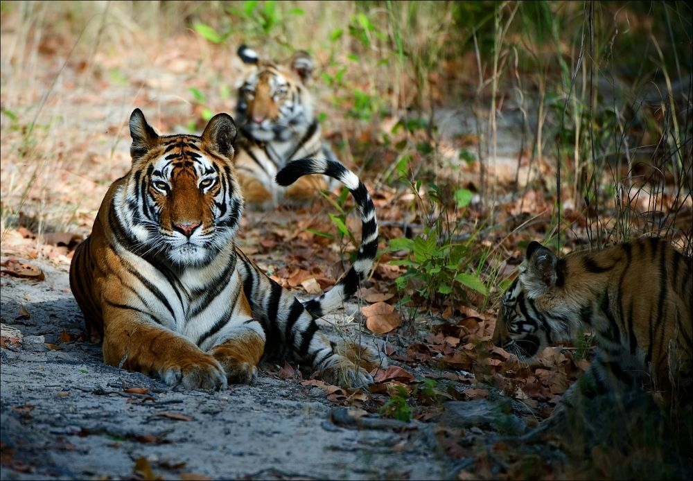 Zagrożony wyginięciem tygrys bengalski. Park Narodowy Corbetta, Indie / fot. Shutterstock