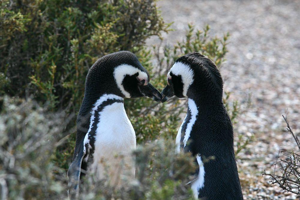 Pingwiny Mgellana. Półwysep Valdés, Patagonia, Argentyna / fot. Shutterstock