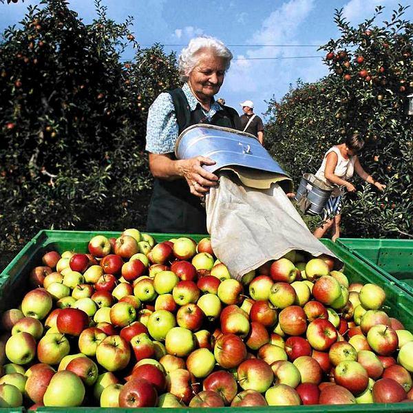 Z jabłek odmiany Arcyksiążę Rudolf  powstaje słynny destylat Steirischer Kronprinz Rudolf Apfelbrand