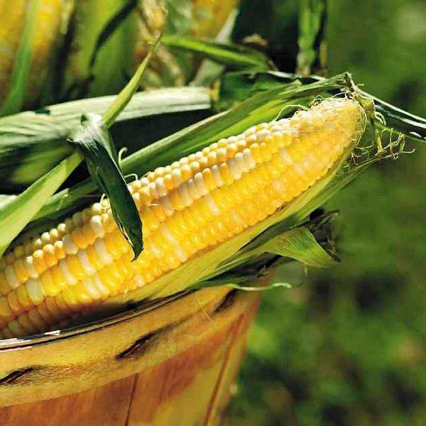 Królowie Majów składali młodemu bogowi kukurydzy ofiarę z krwi zabitych przeciwników. I z własnej także