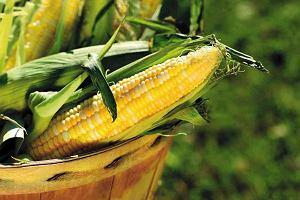 Krwawa historia kukurydzy