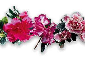 Azalia - Rhododendron
