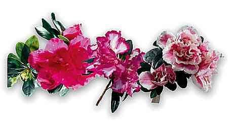 Kwiaty doniczkowych azalii s� zazwyczaj pe�ne, cho� bywaj� te� odmiany pojedyncze, jednolicie zabarwione lub dwubarwne. Ich p�atki mog� mie� pofa�dowane brzegi.