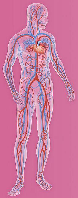 Układ krwionośny, naczynia krwionośne, serce, żyły, tętnice