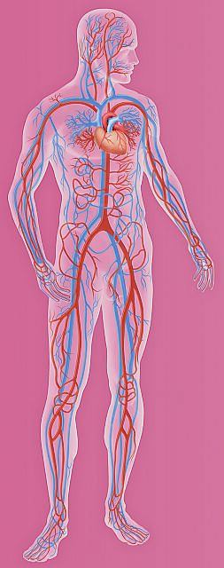 Uk�ad krwiono�ny, naczynia krwiono�ne, serce, �y�y, t�tnice