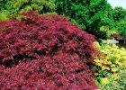 Klon palmowy (Acer palmatum) 'Atropurpureum'