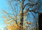 100-letnie drzewo skazane na obumarcie. Ręką człowieka barbarzyńcy [ZDJĘCIA]