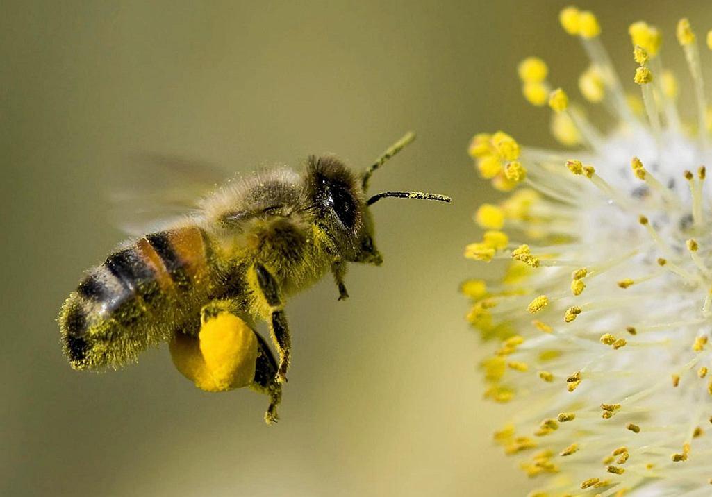 W kwiatach berberysu pszczoły mają bardzo łatwy dostęp do nektaru.