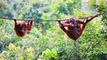 Orangutan został symbolem sprzeciwu wobec niszczenia dżungli pod uprawy oleju palmowego. Na zdjęciu mama orangutan ze swoim potomstwem na Borneo
