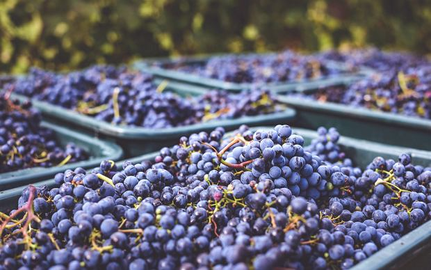 Na powierzchni winogron obecne są dzikie drożdże, dzięki którym możemy pozyskać wino. Są one jednak zwykle mało wytrzymałe i mogą ginąć, gdy stężenie alkoholu stanie się zbyt wysokie.