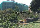 Śródmieście. Pomnik przyrody blokował biurowiec. Został nielegalnie ścięty