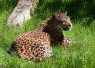 jaguar, fot. ilustracyjna