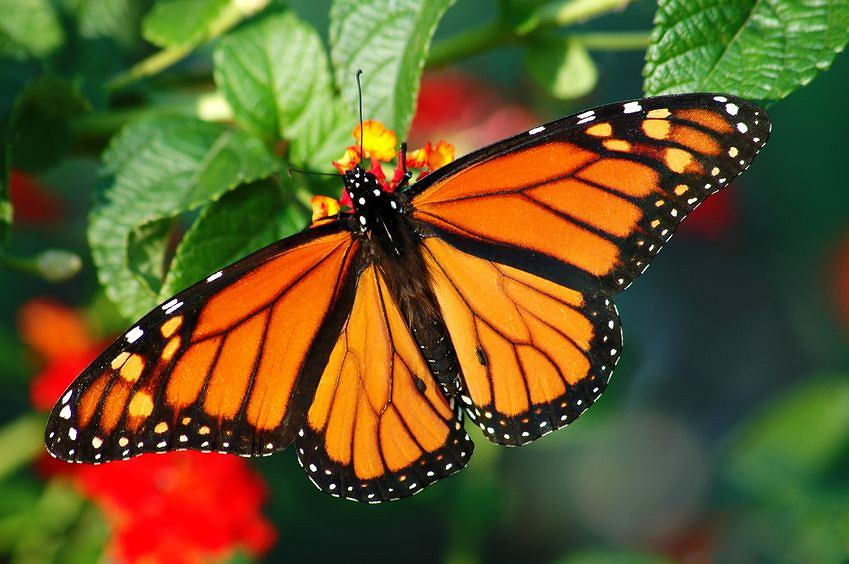 Monarch Butterfly by Gail Gibbons  amazoncom