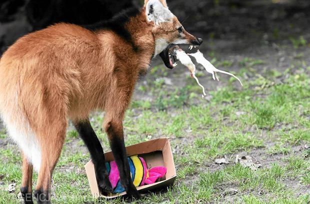 Mieszkańcy warszawskiego ZOO dostają zabawki. Na zdjęciu wilk grzywiasty, 19.07.2016  r.