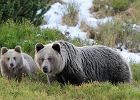 Nasze niedźwiedzie mają sekretny sposób porozumiewania się. Przez zapach stóp