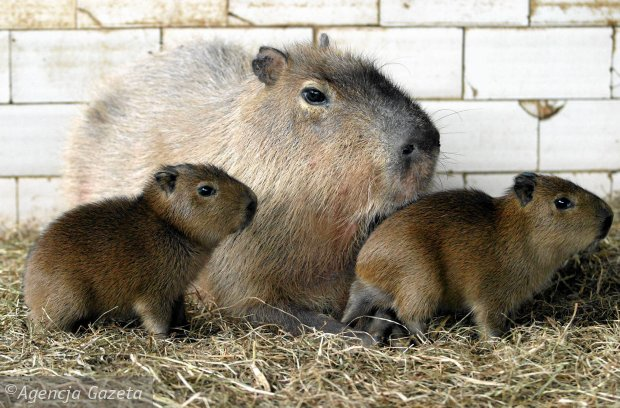 Kto z was czuje si� #kapibarnie?