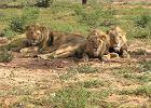 Lwy (zdjęcie ilustracyjne)