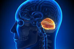 Rola, położenie i choroby móżdżku