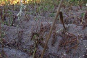 Susza pustoszy pola. Ekstremalna pogoda zagra�a zwierz�tom