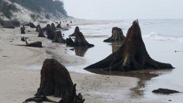 Morze odsłoniło pozostałości puszczy sprzed tysięcy lat