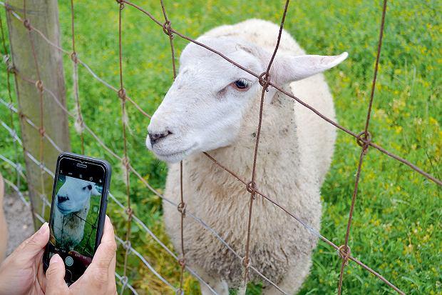 Wesermarsch, owca