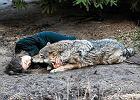 Kobieta i wilczyca poczuły bliskość, bo obie były po przejściach