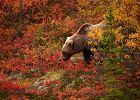 Jako ciekawostka: Grizzly z Alaski / shutterstock