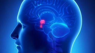 Na schemacie oznaczone podzwgórze z przysadką mózgową (kropelka poniżej)