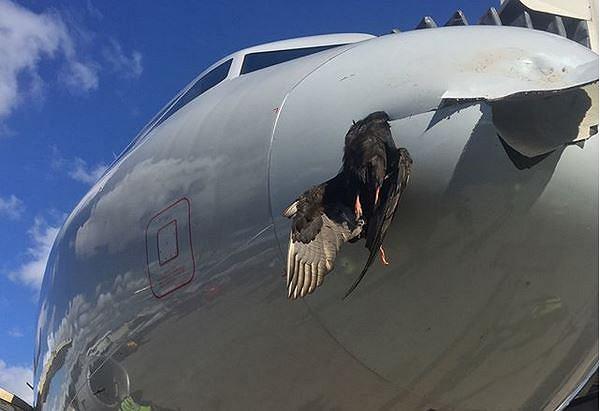 Ptak wbił się w dziób samolotu w Miami