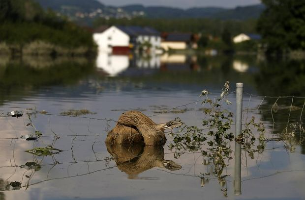 Stan wody w �abie wzr�s� w sobot� wieczorem do 7,40 m, 70 centymetr�w powy�ej poziomu z ''powodzi stulecia''.