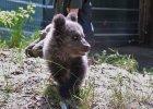 Cisna na pierwszym spacerze. Mała niedźwiedzica waży już 10 kg!