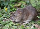 Nowa Zelandia i nowe wyzwanie: wyt�pi� wszystkie szczury