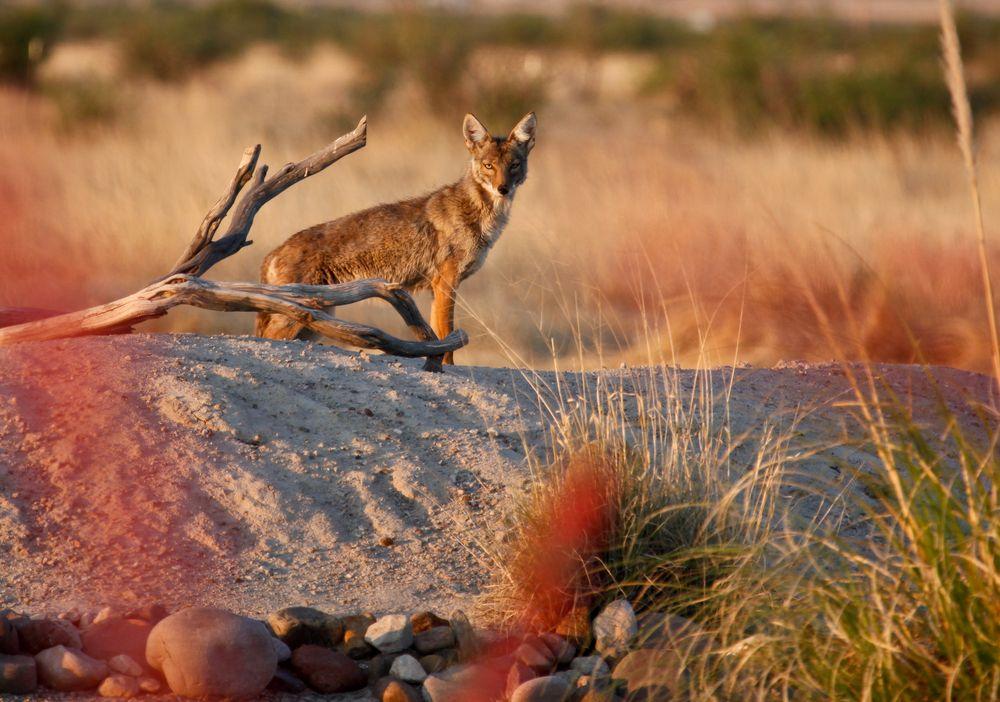 Kojot na pustyni Mojave, USA / fot. Shutterstock