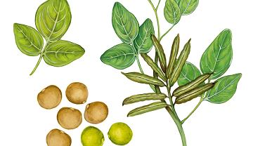 Guma guar to jeden z najczęściej wykorzystywanych obecnie w przemyśle spożywczym środków stabilizujących i zagęszczających