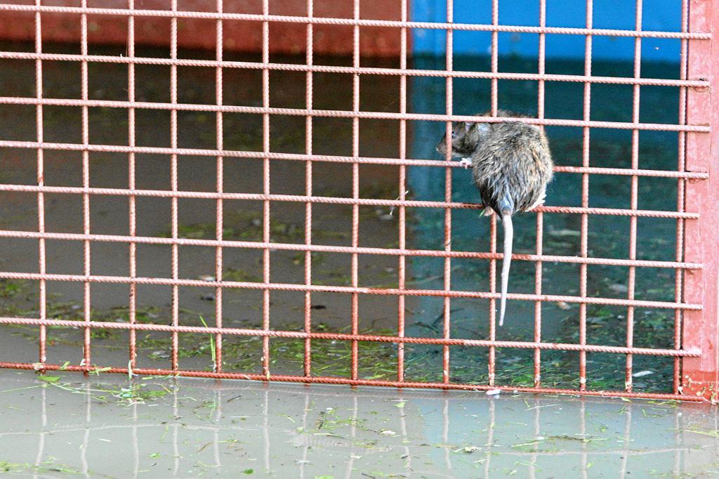 Szczur w Warszawie