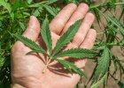THC Made in USA, czyli jak w Ameryce zarabiaj� na marihuanie