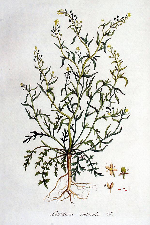 Pieprzyca gruzowa (Lepidium ruderale).