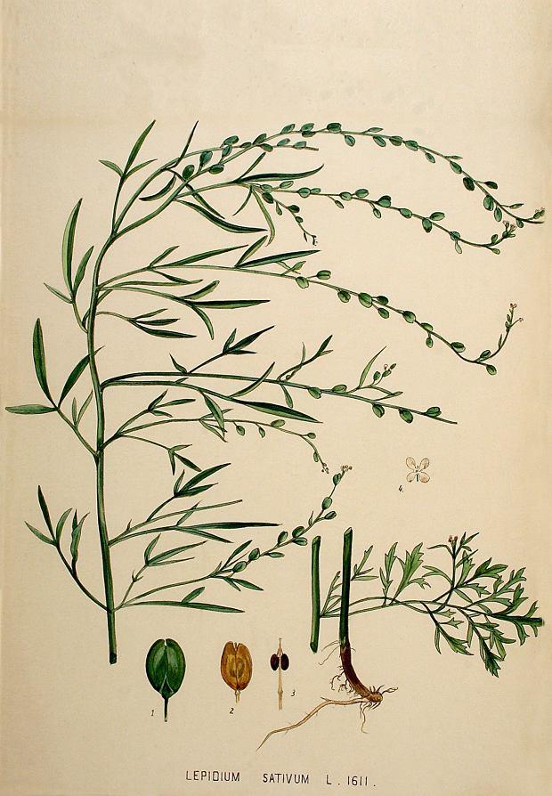 Pieprzyca siewna (Lepidium sativum).