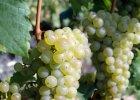 Riesling - wino od s�siada