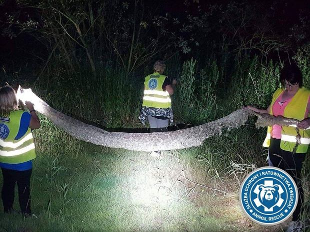 Wylinka długości ponad pięciu metrów została znaleziona w pobliżu Gassów pod Warszawą; należała prawdopodobnie pytona tygrysiego