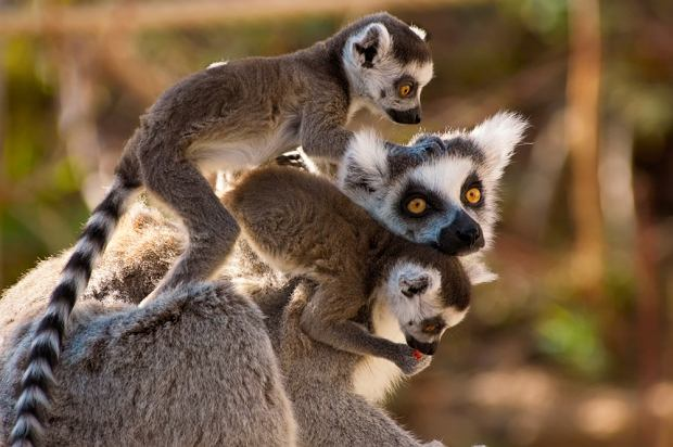 Madagaskar. W pogoni za lemurami