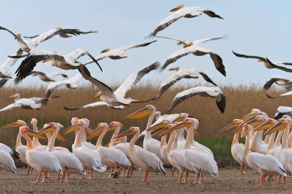 Pelikan baba - symbol delty. Delta Dunaju, Rumunia / fot. Shutterstock