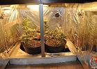 Domowa plantacja: Para uprawiała marihuanę w szafce