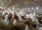 Ptasia grypa na kolejnej fermie drobiu. Nakazano ub�j 28 tys. ptak�w